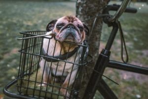 Bulldog zit uitgeput in fietsmandje